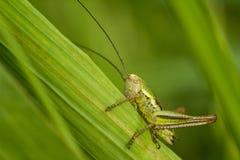 Le bush-cricket du ` s de Roesel Photographie stock