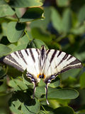 Le butterfly& x28 de machaon ; Machaon& x29 de Papilio ; Image libre de droits