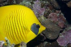 le butterflyfish a masqué Photo libre de droits