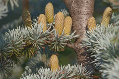 Le cèdre d'atlas pllen des cônes Photo libre de droits