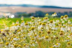 Le cône blanc de cygne fleurit dans un paysage rural Image libre de droits