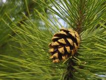 Le cône de Brown se développe sur un pin images libres de droits