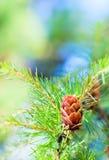 Le cône de mélèze sur l'arbre Photographie stock