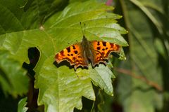 Le c-album blanc de Polygonia du papillon C était perché sur une feuille de vigne Photos stock