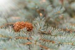 Le cône se trouve sur les branches du pin bleu, fond Photo stock