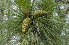 Le cône vert de pin Images stock