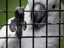 Le cacatoès saisit des barres de cage avec la griffe photos libres de droits