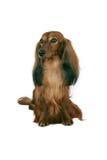 le cacce labrador dell'erba di cane della priorità bassa si siede il bianco bagnato fotografia stock