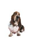 le cacce labrador dell'erba di cane della priorità bassa si siede il bianco bagnato fotografie stock libere da diritti