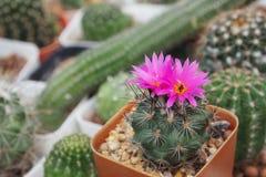 Le cactaceae images stock