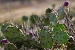 Le cactus Photos stock