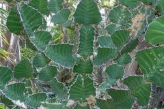 Le cactus avec les pièces plates vertes est très dangereux Images libres de droits