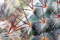 Le cactus cloue le détail Photos libres de droits