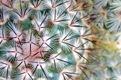 Le cactus cloue le détail Photographie stock