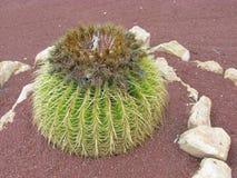 Le cactus d'or de boule ou de baril photos libres de droits