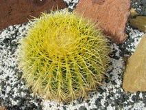 Le cactus d'or de boule ou de baril image stock