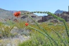 Le cactus d'Ocotillo fleurit en parc national de grande courbure Images libres de droits