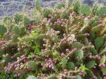Le cactus de figue de Barbarie ou de palette Images stock