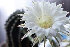 Le cactus de fleur blanche fleurit, d'isolement, plan rapproché, unique, usine, botanique, graines Photo stock