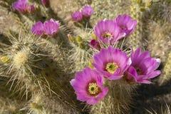 Le cactus de hérisson fleurissant en monument national de cactus de tuyau d'organe, AZ s'approchent de la frontière Mexique-Etats image libre de droits