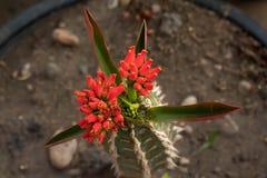 Le cactus de la fleur dans le jour pluvieux illustration libre de droits