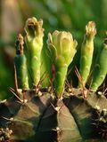 Le cactus de Mihanovichii de Gymnocalycium qui a été planté dans de petits pots peut fleurir beaucoup photographie stock libre de droits