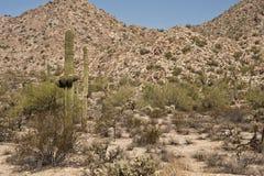 Le cactus de Saguaro se développe au ranch de l'Arizona image stock