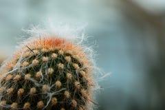 Le cactus a des épines autour de ses arbres photographie stock libre de droits