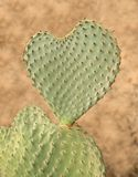 Le cactus en forme de coeur a appelé la figue de Barbarie Image stock