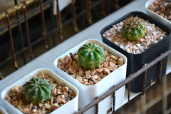 Le cactus est de petits arbres de peyotl Photos stock