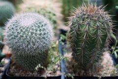 Le cactus est un membre du Cactaceae de famille d'usine par famille comportant environ 127 genres avec environ 1750 espèces connu image libre de droits