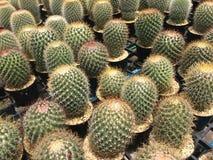 Le cactus est une usine avec du charme La culture de cactus est bonheur d'amant de cactus image libre de droits