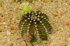 Le cactus est une usine populaire à cultiver images stock