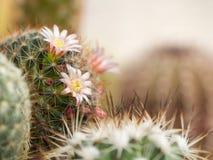 Le cactus fleurit le paon rose de Mammillaria Image libre de droits