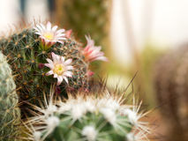 Le cactus fleurit le paon rose de Mammillaria Image stock