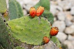 le cactus porte des fruits tzabar Images stock