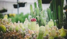Le cactus rouge Photos libres de droits