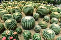 Le cactus sphérique Photographie stock libre de droits