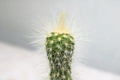 Le cactus vert avec les aiguilles jaunes étroitement  photographie stock libre de droits