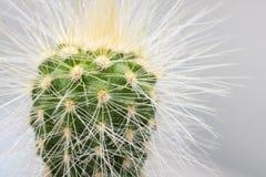 Le cactus vert avec les aiguilles jaunes étroitement  images libres de droits