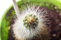 Le cactus vert avec les aiguilles jaunes étroitement  photographie stock