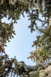 Le cadre arrondi des branches couvertes de neige de sapin contre un ciel bleu a tiré de dessous images stock