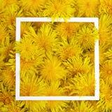 Le cadre blanc sur le jaune fleurit le fond Ressort, concept d'été Configuration plate, vue supérieure Images stock