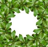 Le cadre de ressort avec le vert laisse de petits bourgeon floraux Image libre de droits