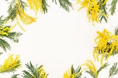 Le cadre floral de la mimosa fleurit sur le fond blanc Configuration plate, vue supérieure Photos stock