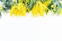 Le cadre floral de la mimosa jaune s'embranche sur le fond blanc Configuration plate, vue supérieure Photographie stock libre de droits