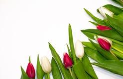 Le cadre floral sur le fond blanc fait de fleurs rouges et blanches de tulipe se boutonnent L'espace de copie pour saluer sur Val photographie stock