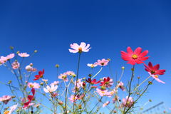 Le Calliopsis sous le ciel bleu Images stock