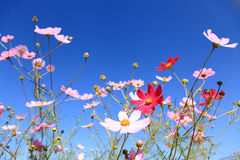 Le Calliopsis sous le ciel bleu Photos libres de droits
