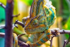 Le caméléon coloré III images libres de droits